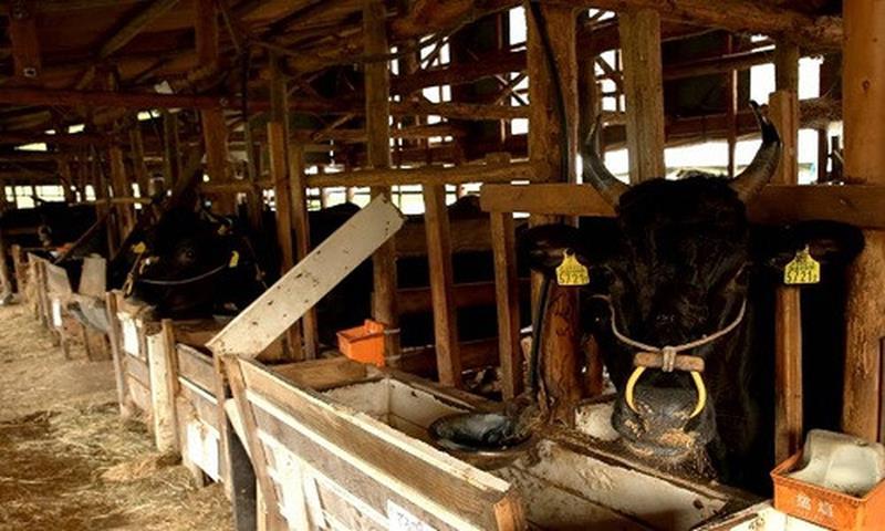 Thịt bò Wagyu vân mỡ trắng đan đều khắp thớ thịt đỏ hồng, tỷ lệ nạc/mỡ càng cân bằng càng được đánh giá cao